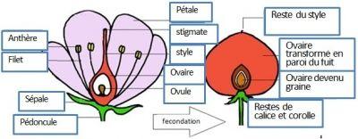 La Reproduction Des Plantes A Fleurs Et La Vie Fixee Cours