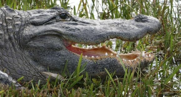 Expert en psychologie de l'éducation, Denis Berthiaume développe un parallèle entre les étudiants et les crocodiles.