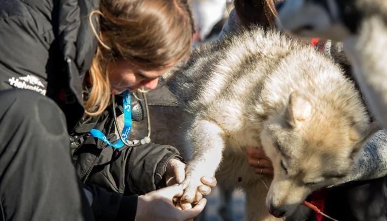 Avec la lutte anti-dopage, les vétérinaires doivent utiliser la médecine complémentaire pour soigner les blessures des chiens engagés sur la Grande Odyssée.