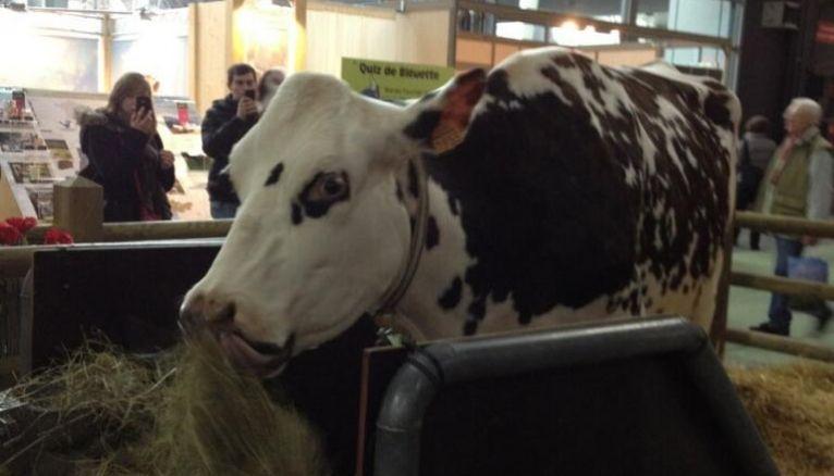 La vache, éternelle star du salon de l'agriculture