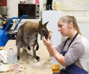 Après avoir confectionné le mannequin du wallaby, petit cousin du kangourou, Justine procède aux dernières retouches : la séance de maquillage.Le but : redonner l'apparence dela vie à un animal mort.