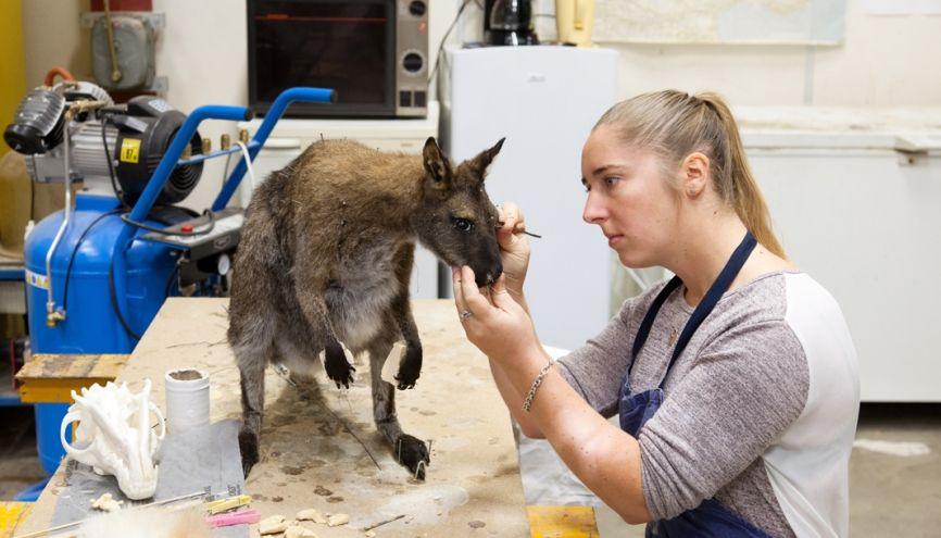 Après avoir confectionné le mannequin du wallaby, petit cousin du kangourou, Justine procède aux dernières retouches : la séance de maquillage.Le but : redonner l'apparence dela vie à un animal mort. //©Claire Cocano pour l'Etudiant