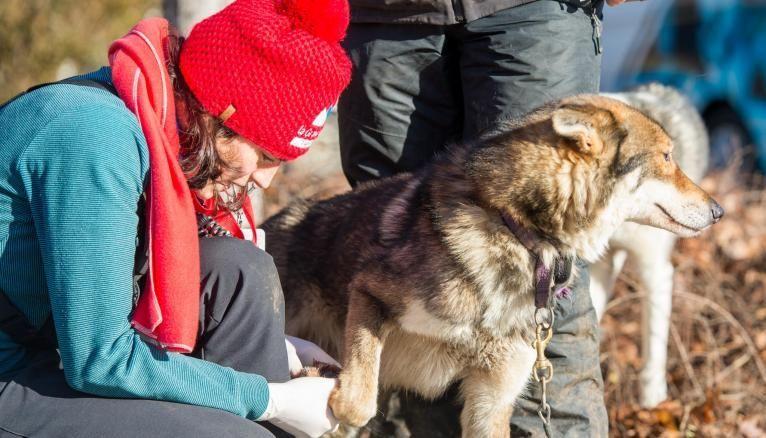 """Dans le cadre de la Grande Odyssée, les étudiants de la """"Team Veto"""" auscultent les chiens de traineaux."""