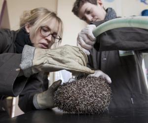 Le vétérinaire peut être amené à intervenir sur de petits animaux, comme les hérissons.
