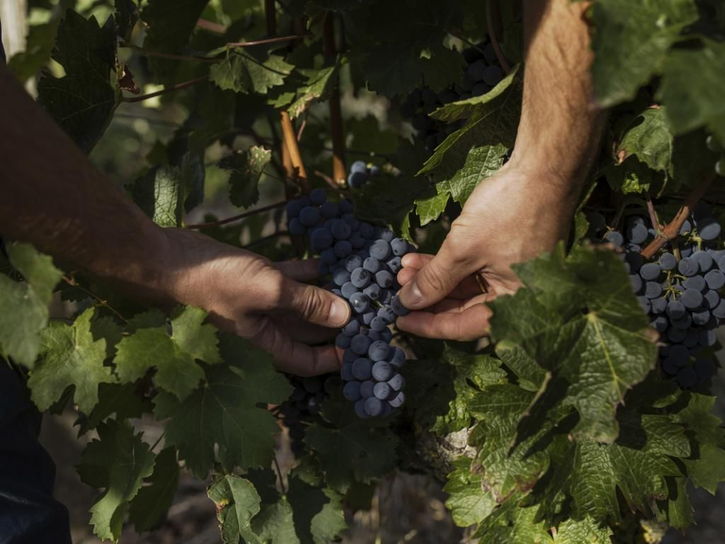C'est toute l'année que le raisin requiert de l'attention, pas uniquement pendant les vendanges. //©Théophile Trossat pour l'Etudiant