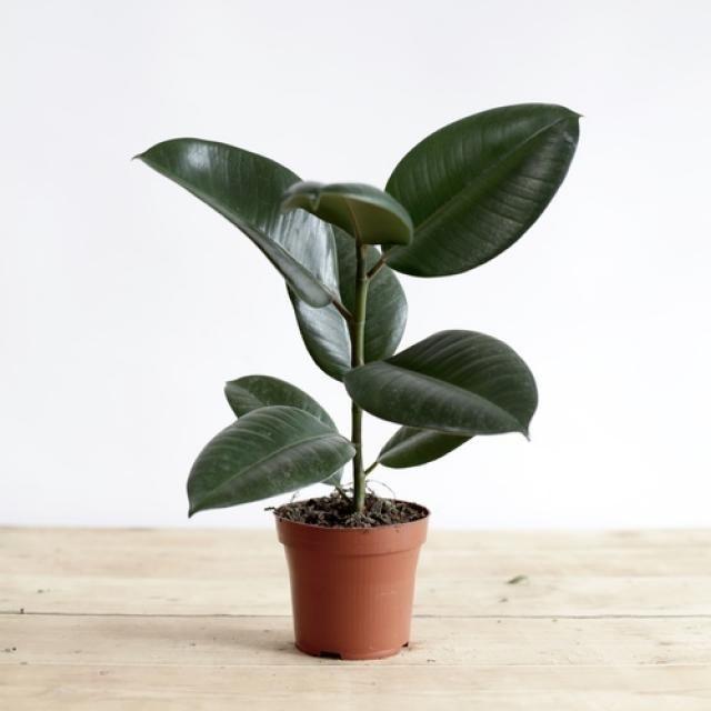 Le Ficus elastica sous son meilleur jour. //©Toro Studio